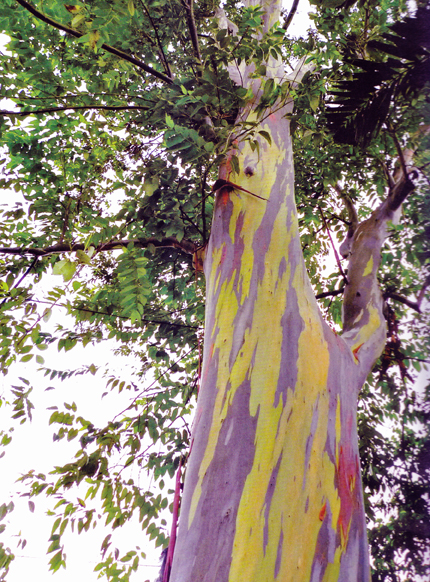Bagras, a tree native to Mindanao