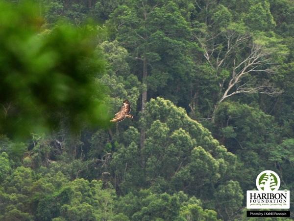 A Philippine Eagle gliding above Nueva Ecija