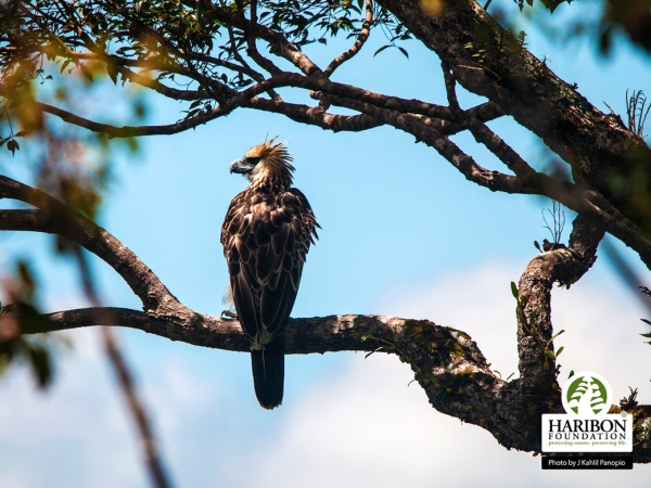A juvenile Philippine Eagle in Luzon