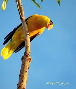 Black Naped Oriole - Nic Cabigas
