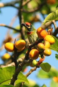 Coppersmith Barbet - Anthony Balbin