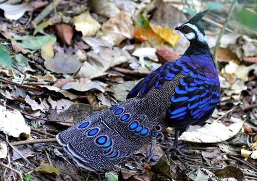 Palawan Peacock Pheasant - Jovic Ferrer