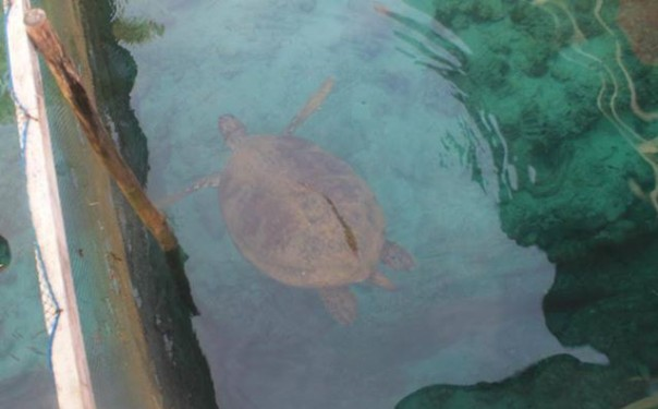 Sea Turtle in Captivity