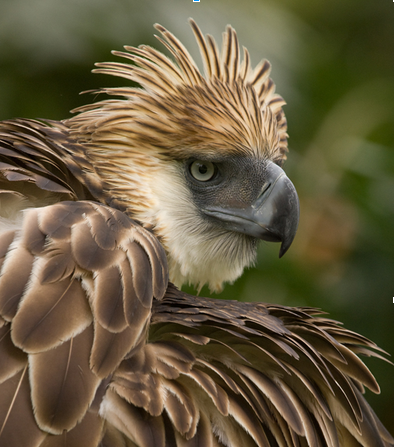 Doesn't the Philippine Eagle just scream fierce?